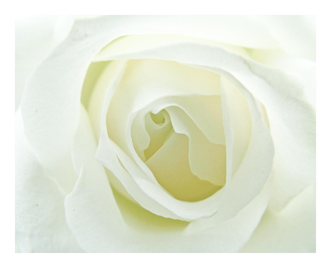 white_rose_of_beauty (1)